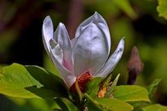 Sulanzha da magnólia branco Flor excelente e luxuoso da magnólia no sol fotos de stock royalty free