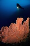 sulawesi της Ινδονησίας gorgone δυτών κ& Στοκ εικόνες με δικαίωμα ελεύθερης χρήσης