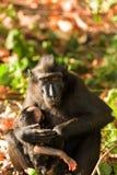 Sulawesi-Affe mit Makaken Baby Celebes mit Haube Lizenzfreie Stockbilder