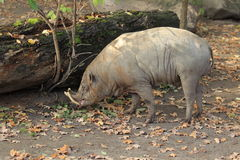 Sulawesi babirusa Royalty Free Stock Images