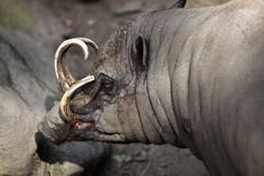 Sulawesi babirusa (Babyrousa celebensis). Royalty Free Stock Photo