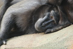 Sulawesi black macaque Royalty Free Stock Photo