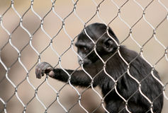Sulawesi crested il macaque Immagini Stock