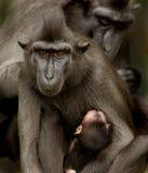Sulawesi Crested la famille de Macaque Photographie stock libre de droits