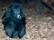 Sulawesi Crested Macaque Royalty Free Stock Photos