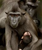Sulawesi Crested Macaque family. Intimate close up portrait of Sulawesi Crested Macaque Macaca nigra family with very young baby royalty free stock photography