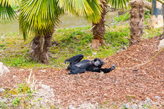 Sulawesi crested macaque lying under palm tree Royalty Free Stock Photos