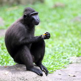 Sulawesi Crested Macaque Monkey. A Sulawesi Crested Macaque with Funny Facial Expression After Tasting the Sourness of the Orange Stock Photography