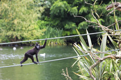 Sulawesi crested macaque moved across the pond. Royalty Free Stock Photos