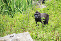 Sulawesi crested macaque. Royalty Free Stock Photos