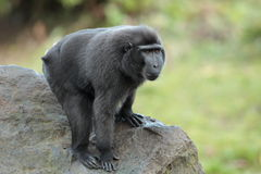 Sulawesi crested macaque. Royalty Free Stock Photo