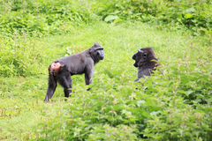 Sulawesi crested macaques swear. Stock Image