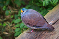 The Sulawesi ground dove (Gallicolumba tristigmata) Royalty Free Stock Images