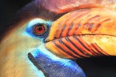 Sulawesi knobbed hornbill Stock Photo