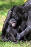 Sulawesi krönade macaquen Royaltyfria Bilder