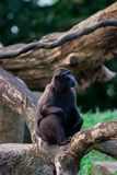 Sulawesi krönade macaquen sitter på en filial Arkivbilder