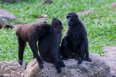 Sulawesi krönade macaquen sitter på a vaggar Royaltyfria Foton