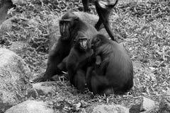 Sulawesi krönade svart vit för macaquen Royaltyfri Foto