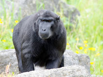 Sulawesi Macaque. A macaque surveys his territory Royalty Free Stock Images