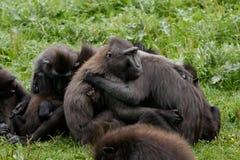 Sulawesi makak, nigra grupa, przytulenie i spełniania wspólny przygotowywać/Czubatego Czarnego makaków, Macaca/, zdjęcie stock