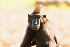 Sulawesi makaka Czubaty punk rock zdjęcie stock