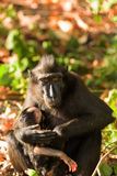 Sulawesi monkey with baby Celebes crested macaque Royalty Free Stock Images