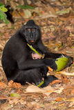Sulawesi monkey with baby Celebes crested macaque Stock Images