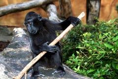 Sulawesi oder schwarzer Macaque stockbild