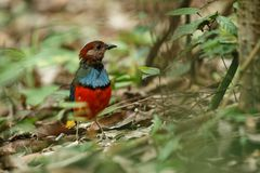 Sulawesi pitta Erythropitta celebensis perches on a branch in indonesian jungle, endemic species to Indonesia, Exotic birding in. Asia, Tangkoko, Sulawesi stock images
