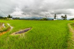 Sulawesi rice fields Royalty Free Stock Photo