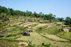 Sulawesi Rice Paddy Fields Royalty Free Stock Photo