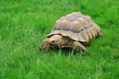 Sulcata (afrikanisches angetrieben) Schildkröte stockbild