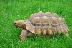 Sulcata (afrikanisches angetrieben) Schildkröte lizenzfreie stockbilder
