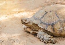 Sulcata afrykanin lub tortoise pobudzaliśmy tortoise Geochelone sulcata Obraz Royalty Free
