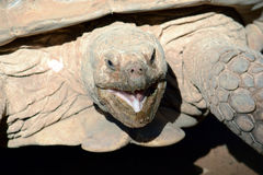 Sulcata do Geochelone no centro zoológico do telefone Aviv-Ramat G Fotografia de Stock Royalty Free