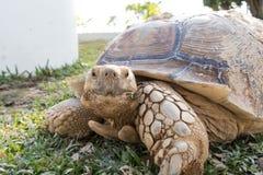 Sulcata för Sulcata sköldpaddaGeochelone Royaltyfri Bild