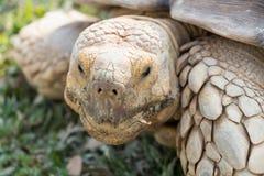 Sulcata för Sulcata sköldpaddaGeochelone Royaltyfria Bilder