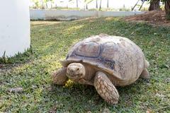 Sulcata för Sulcata sköldpaddaGeochelone Arkivfoton