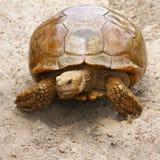 Sulcata-Schildkröte Stockfoto