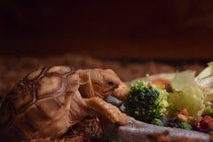 Sulcata sköldpadda Royaltyfri Foto