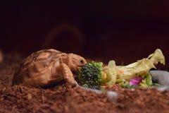 Sulcata sköldpadda Fotografering för Bildbyråer