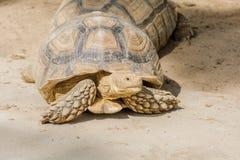 Sulcata sköldpadda Royaltyfria Foton