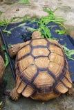 Sulcata tortoise Zdjęcia Stock