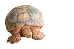 Sulcata tortoise Zdjęcie Royalty Free