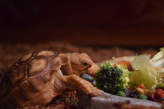 Sulcata tortoise. African spurred tortoise eating Royalty Free Stock Photo