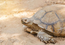 Sulcata tortoise or African spurred tortoise Geochelone sulcata. Close up sulcata tortoise or African spurred tortoise Geochelone sulcata walking in natural Royalty Free Stock Image
