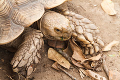 Sulcata tortoise, afrykanin pobudzał tortoise Fotografia Royalty Free