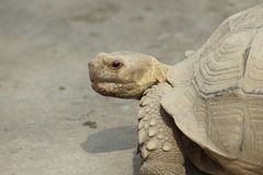 Sulcata Tortoise Royalty Free Stock Photo