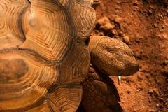 Sulcata tortoise głowa od widok z lotu ptaka Obraz Royalty Free