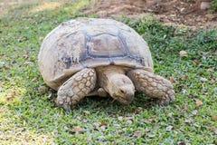 Sulcata Tortoise Geochelone Sulcata Στοκ Εικόνες